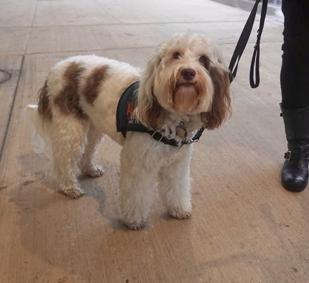 A small white dog with brown spots looks curiously at the camera. He has an navy blue Atlas assistance dogs vest on.
